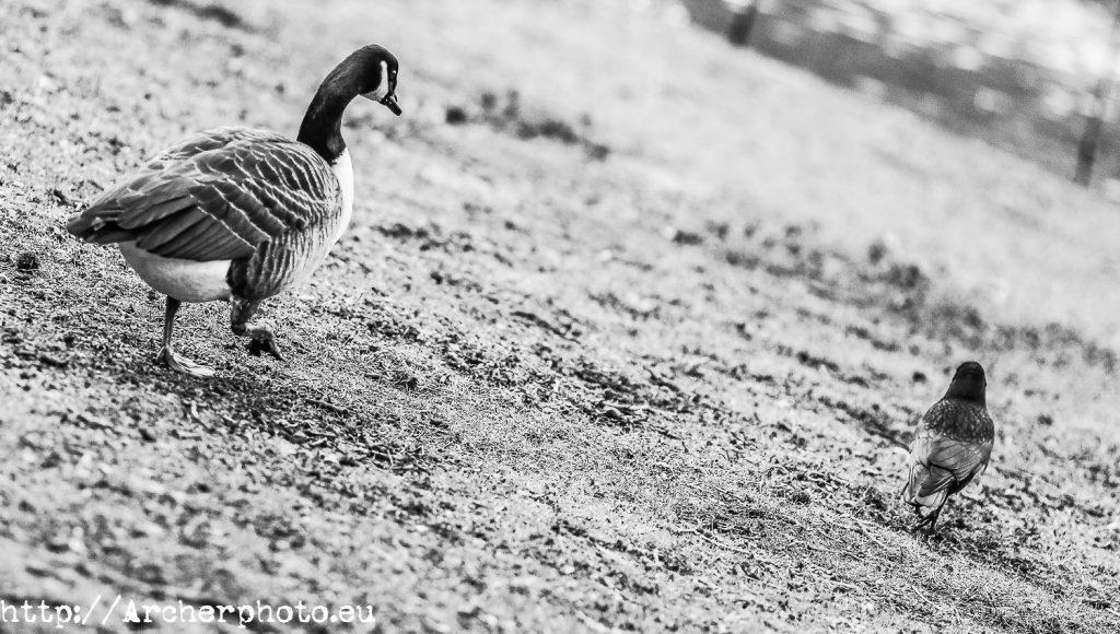 Animales en el parque, Archerphoto, fotógrafo, Londres, pato