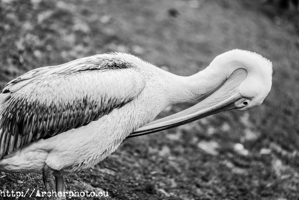 Animales en el parque, Archerphoto, fotógrafo, Londres, pelícano