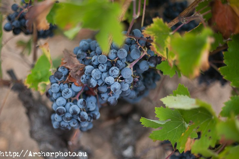Grape in Yecla, Murcia, Spain by Archerphoto, professional photographer