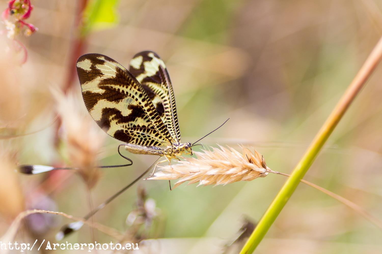 Doñana con Canon Explorer Series, Nemoptera bipennis, de Archerphoto fotografo profesional, fotografía de naturaleza, mariposa Doñana