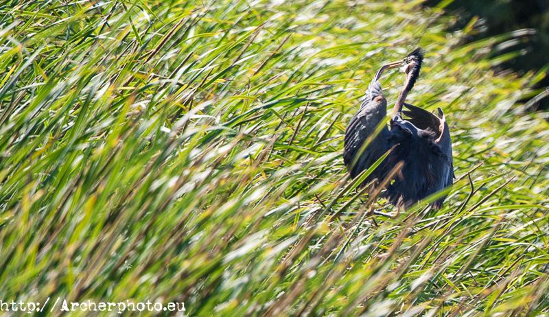Morito común, Doñana con Canon Explorer Series, por Archerphoto, fotógrafo profesional
