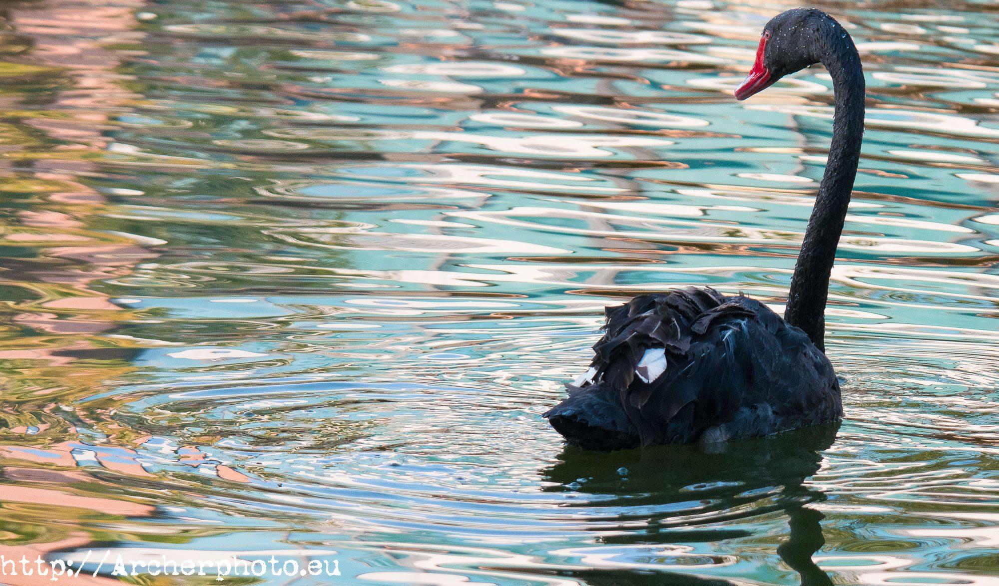 cisne negro por archerphoto fotógrafo valencia