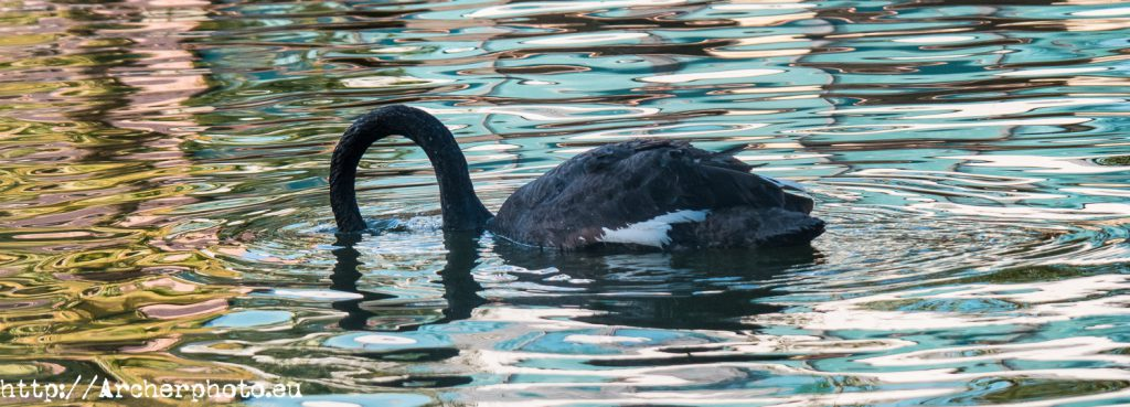 Cisne negro, imagen de Archerphoto, fotógrafo en Valencia