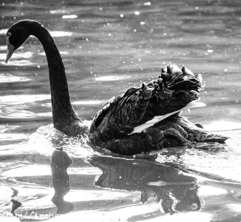 Cisne negro en blanco y negro, fotografía Valencia